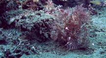 Lacey Scorpionfish Stalks Cardinalfish