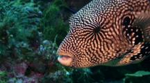 Map Pufferfish Getting Cleaned