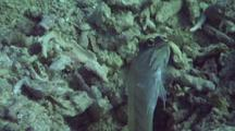 Yellowbarred Jawfish (Male) Builds Burrow