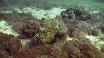 Broadclub Cuttlefish Displaying
