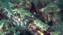 Lizardfish Getting Cleaned By Shrimp