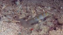 Randall's Shrimpgoby With Pair Of Shrimps Working