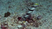 Yellownose Shrimpgoby With Red & White Shrimp