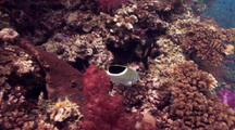 Coral Reef Scene With Saddleback Butterflyfish