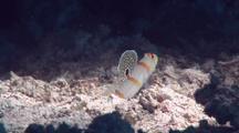 Randall's Shrimpgoby