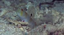 Randall's Shrimpgoby With Shrimp Working