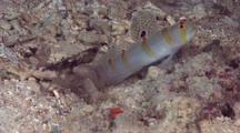 Randall's Shrimpgoby With Pair Of Shrimp Working