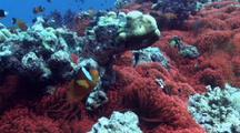 Huge Florescent Red Anemone Colony With Anemonefish