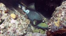 Titan Triggerfish Feeds And Gets Cleaned By Wrasse