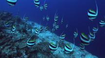 Longfin Bannerfish Schooling