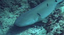Tawny Nurse Shark Is Cleaned By Cleaner Wrasse