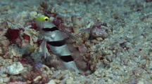 Yellownose Shrimpgoby Feeding With Red And White Shrimp Working