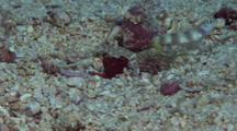 Steinitz' Shrimpgoby Standing Watch With Two Shrimp Working Far From Burrow