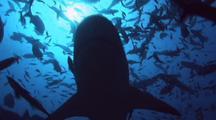 Bull Shark Glides Overhead