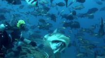 Bull Shark Takes Bait From Divemaster And 2nd Bull Follows Behind