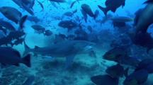 Bull Shark Takes Tuna Head Bait From Sand Bottom And Nurse Shark Follows