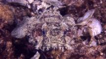 Banded Toadfish Resting And Swimming Among Rocks