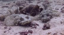 Crocodile Flatheads Resting On White Sand