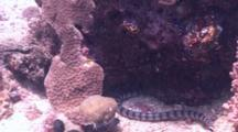 Banded Sea Krait Hunts Through The Reef