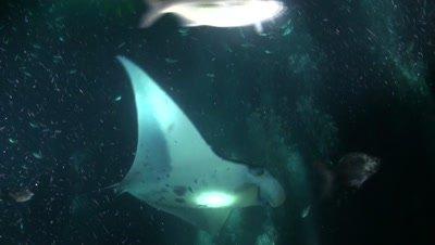 Manta Ray Feeding