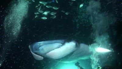 Manta Rays Feeding Over Divers
