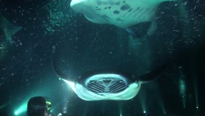 Manta Rays Feeding Above Divers