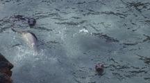 South East Farallon Island Elephant Seals