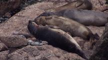 South East Farallon Island Elephant Seals