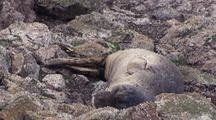 South East Farallon Island Sleeping Elephant Seal Pup
