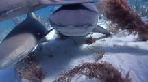 Tiger Shark Approaching Through Seaweed