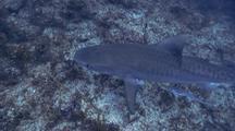 Tiger Shark On Reef