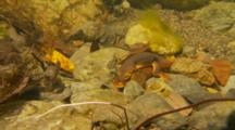 California Newt Spawning Underwater, Male Tickles Female With Back Foot