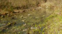 California Newt Spawning Along Surface In Fast Moving Creek, Ultra Wide, Habitat
