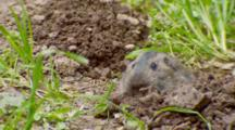 Gopher Pushing Soil To Surface, Grabs Blade Of Grass