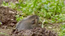 Gopher Pushing Soil To Surface, Grabs Grass And Goes Back Into Hole
