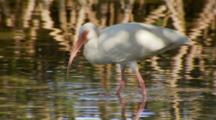 American Ibis Foraging In Reflective Mangrove Root Water