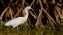 Snowy Egret Mid Shot, Hunting, Darting, Along Mangrove Roots