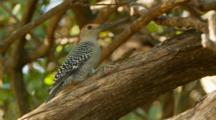Red Bellied Woodpecker, Feeding, Darts Away