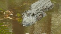 American Alligator, Large Specimen Facing Lens