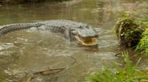 American Alligator, Huge Gator Turns From Bank And Back To Lens