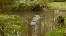American Alligator, Large Specimen Resting In Pool