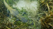 American Alligator, Look Downward To It Sleeping Underwater, Sea Grasss