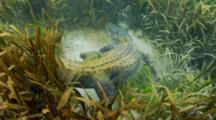 American Alligator, Look Downward To It Sleeping Underwater, Gator Swims Away