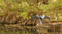 Track In, Snake Bird, Aka American Anhinga, Flies Off Branch