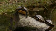 Coastal Cooters, Three Fresh Water Turtles