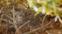 Bobcat Mother Sitting Under Tree Looking Upward Towards Her Kitten In Tree Branch
