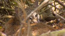 Bobcat Kitten Resting Under Tree Turns To Look At Lens