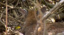 Bobcat Kitten Resting Under Tree, Ears Pinned Back