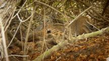 Bobcat Mother Grooms Kittens Under Brush