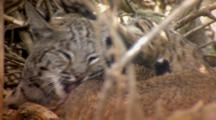 Bobcat Mother Grooms Large Kitten, Extreme Close Up
